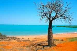 Boab tree Broome