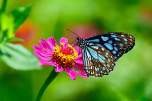 Queensland - the blue tiger butterfly a beautiful tropical butterfly – luxury short breaks on a private aircraft