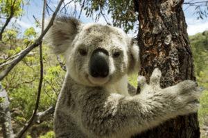 Magnetic Island - Koala in tree – Bill Peach Journeys