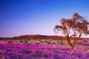 Flinders Ranges - wildflowers carpeting the ground below the mountains - Outback Australia Flinders Ranges