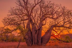 El Questro - boab tree with a fiery red sunset - Luxury Private Kimberley Air Tour
