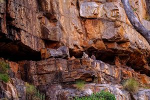 El Questro - rock wallabies perched cliff face in Chamberlin gorge - Luxury Private Kimberley Air Tour