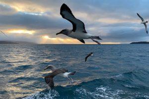 Stewart Island - Albatross flying at sea - Luxury short breaks South Island