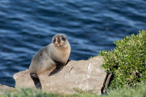 New Zealand Fur Seal - Wildlife - Bill Peach Journeys
