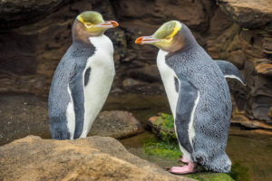 Yellow Eyed Penguin - Dunedin - Bill Peach Journeys