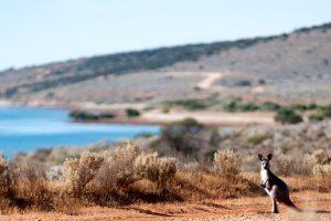 Whyalla - kangaroo at Fitzgerald Bay - luxury short breaks South Australia