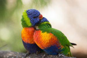 Port Lincoln - Rainbow lorikeets at the Glen-Forest Tourist Park - luxury short breaks South Australia