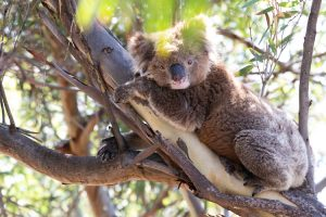 Eyre Peninsula - koala resting in the trees - luxury short breaks South Australia