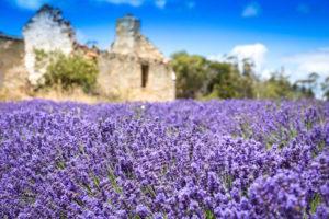 Port Arthur - lavender fields in full bloom - Luxury Short Breaks Australia
