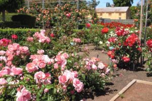 Longford Tasmania - Woolmers Estate roses in full bloom - Luxury Short Breaks Australia