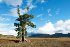 Flinders Ranges – The Cazneaux Tree near Wilpena Pound in the Flinders Ranges – Luxury short breaks in Outback Australia