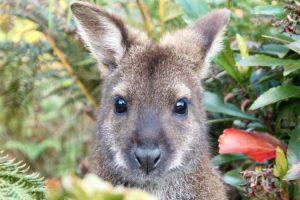 Tasmania - wallaby in the wilderness - luxury short breaks Tasmania