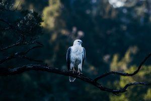 Tasmania - white-bellied sea eagle - luxury short breaks Tasmania