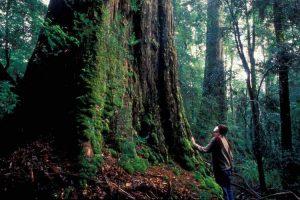 Tasmania - up close with nature and towering trees - luxury short breaks Tasmania