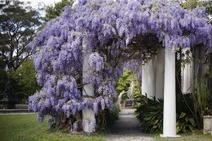 Blue Mountains - Wisteria in bloom over garden statues at Norman Lindsay Gallery - luxury short breaks Australia