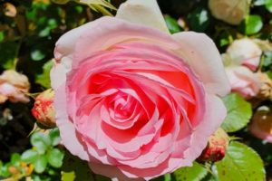 Tambea Private Gardens - Riverina - Roses