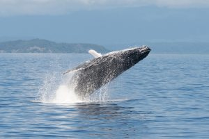 Snapper Island - Humpback whale breaching - Luxury solo tours