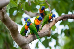 Tropical North Queensland - Rainbow lorikeets - Luxury solo tours