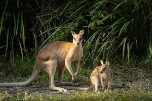 Thala Beach - kangaroos in the round - Luxury short breaks Australia