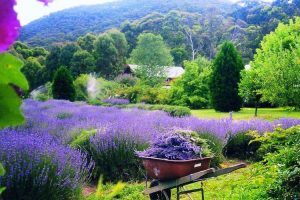 Harrietville - Lavender Farm tour - Luxury short breaks Australia