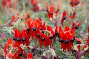 Western Australia - Desert Sturt Pea Flower - Luxury short breaks Australia