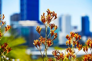 Perth - Kings Park and Botanical Gardens flowers with the city in the background - Luxury solo tours
