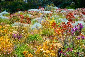 Perth - many colours of wildflowers in Botanic Gardens - Luxury short breaks Australia
