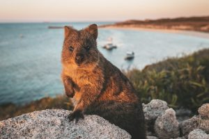 Rottnest Island - Quokka posing for the camera - Luxury solo tours