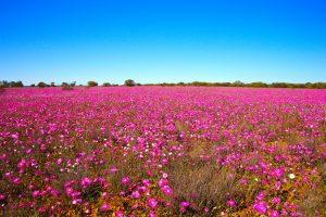 Western Australia - fields of purple wildflowers - Luxury short breaks Australia