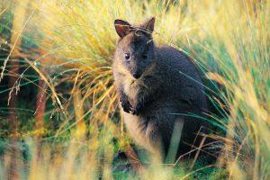 Tasmania - wildlife spotting, a pademelon in the grasses - Luxury short breaks Tasmania