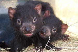 Cradle Mountain - baby Tasmanian Devils - Luxury solo tours