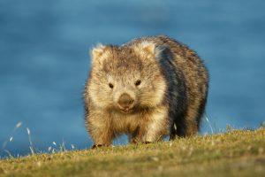Cradle Mountain - Wombat visiting the lodge - Luxury short breaks Tasmania