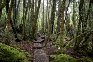 Cradle Mountain - Enchanted forest bush walk - Luxury solo tours