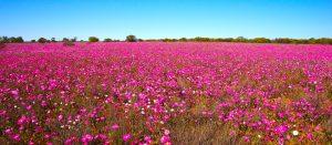 Western Australia - fields of pink wildflowers - Luxury short breaks Australia
